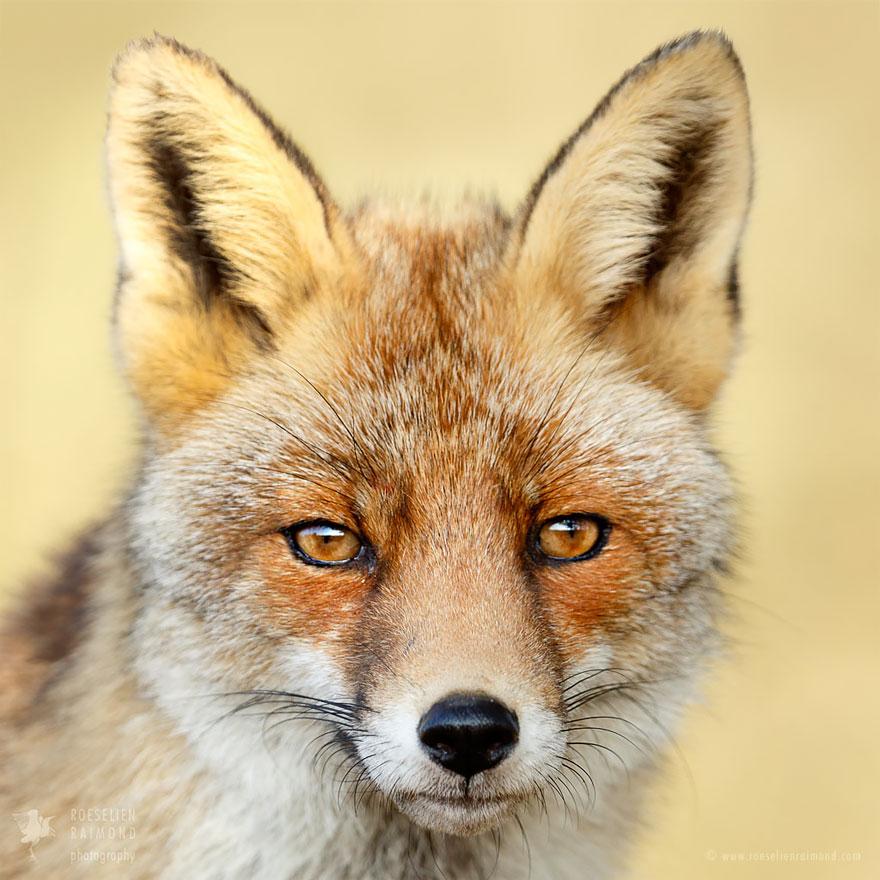 Fox faces roeselien raimond grey