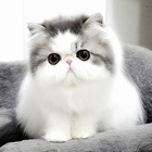 Normal white and grey beautiful persian kitten