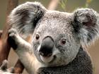 Normal koala